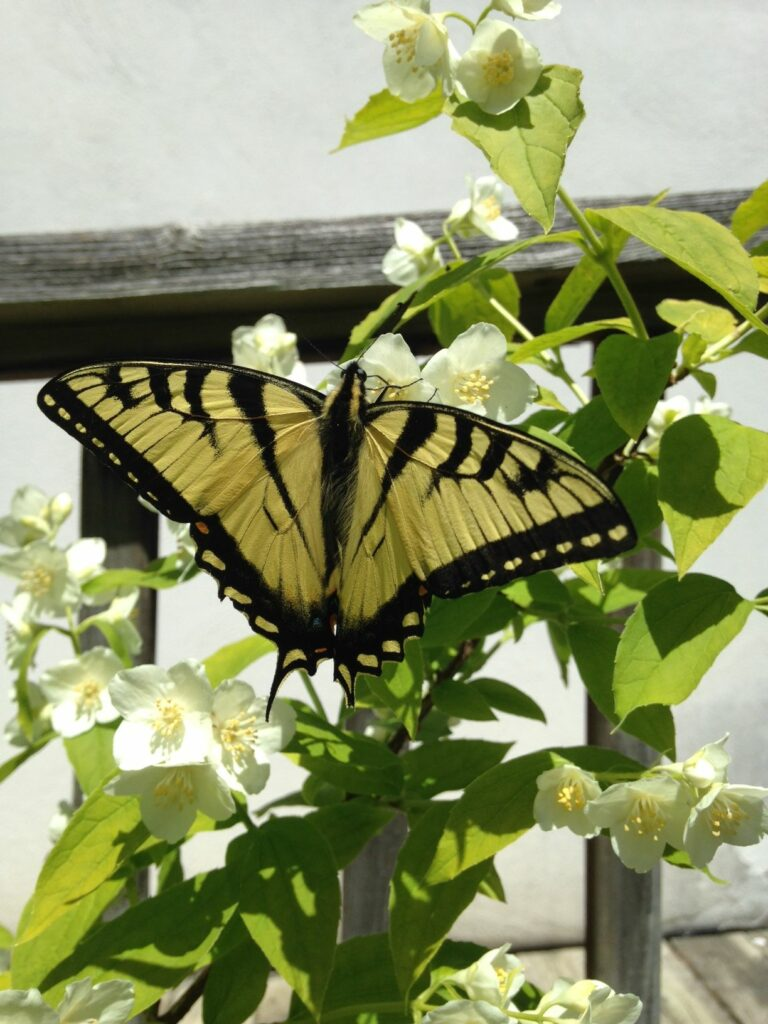 Swallowtails have arrived at Westfield Conservation Area
