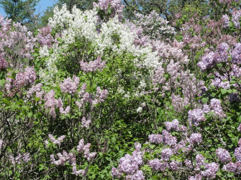 The Sweet Perfume of Lilacs